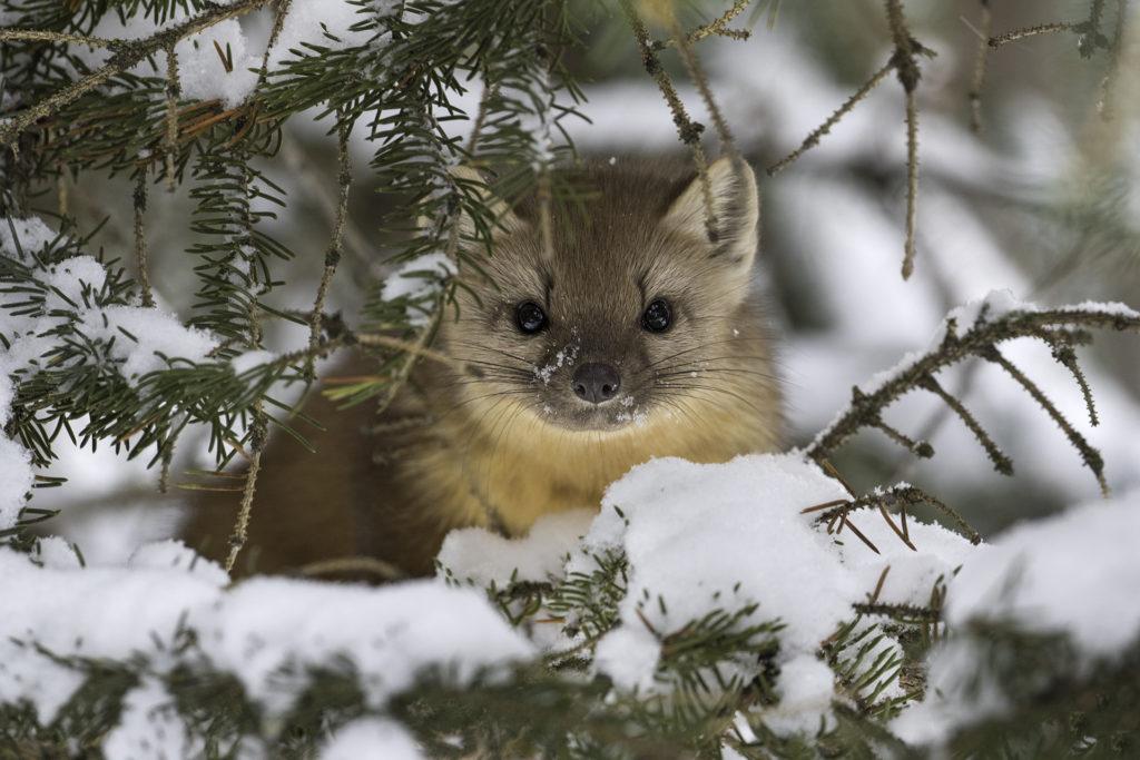 Forest-marten-winter